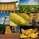 Raccolta del cereale Fotografie Stock