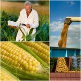 Raccolta del cereale Immagine Stock Libera da Diritti