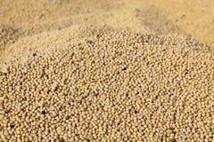 Raccolta del fagiolo della soia Immagini Stock