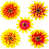 Raccolta del fiore arancio e giallo di zinnia Fotografie Stock Libere da Diritti