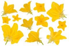 Raccolta del fiore del cetriolo Fotografie Stock Libere da Diritti