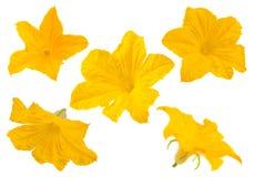 Raccolta del fiore del cetriolo su bianco Fotografia Stock