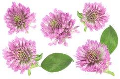 Raccolta del fiore dell'erba dell'alfalfa Fotografia Stock