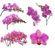 Raccolta del fiore dell'orchidea nelle strisce rosa scure Fotografia Stock