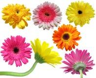 Raccolta del fiore della margherita della gerbera Fotografia Stock Libera da Diritti