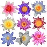Raccolta del fiore di loto Fotografia Stock