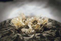 Raccolta del fiore per il tè di camomilla Erbe della Russia Immagine Stock