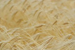 Raccolta del frumento dell'oro Fotografia Stock Libera da Diritti