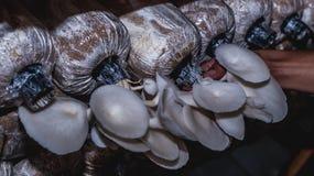 Raccolta del fungo di ostrica bianco Immagini Stock