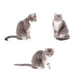 Raccolta del gatto di soriano Immagine Stock Libera da Diritti
