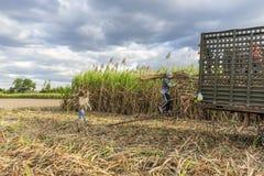 Raccolta del giacimento della canna da zucchero, provincia di Tay Ninh, Vietnam Immagini Stock Libere da Diritti