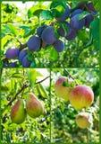 Raccolta del giardino: albero delle mele, delle pere e di prugne Fotografie Stock Libere da Diritti