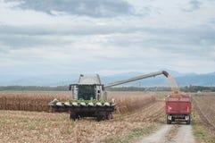 Raccolta del grano del mais Fotografia Stock Libera da Diritti