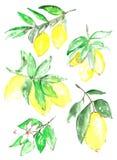 Raccolta del limone Fotografie Stock Libere da Diritti