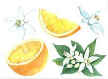 Raccolta del limone Fotografie Stock