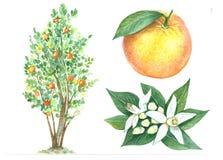Raccolta del limone Immagini Stock