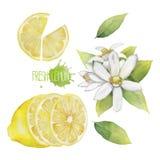Raccolta del limone dell'acquerello Fotografia Stock