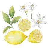 Raccolta del limone dell'acquerello Immagine Stock Libera da Diritti
