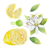 Raccolta del limone dell'acquerello Fotografia Stock Libera da Diritti