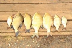 Raccolta del pesce Fotografie Stock