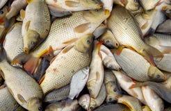 Raccolta del pesce nello stagno Fotografia Stock Libera da Diritti