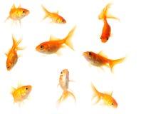 Raccolta del pesce rosso Fotografia Stock Libera da Diritti