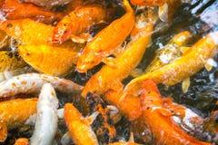 Raccolta del pesce rosso Immagini Stock