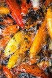 Raccolta del pesce rosso Fotografie Stock Libere da Diritti