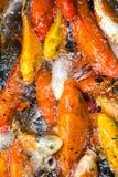 Raccolta del pesce rosso Immagine Stock