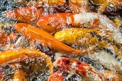 Raccolta del pesce rosso Immagini Stock Libere da Diritti