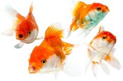 Raccolta del pesce rosso isolata su bianco Fotografie Stock Libere da Diritti