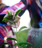 Raccolta del picco del tè verde Fotografia Stock