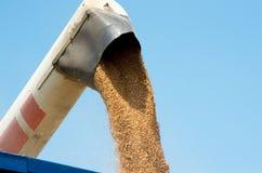 Raccolta del raccolto del grano Immagine Stock