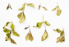 Raccolta del ramo secco delle foglie Fotografia Stock Libera da Diritti