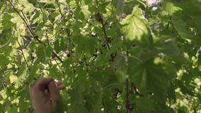 Raccolta del ribes nero stock footage