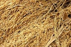 Raccolta del riso Fotografia Stock Libera da Diritti