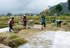 Raccolta del riso Fotografie Stock Libere da Diritti
