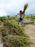 Raccolta del riso Immagine Stock
