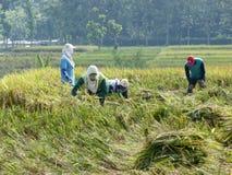 Raccolta del riso Immagini Stock Libere da Diritti