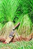 Raccolta del riso del semenzale Fotografia Stock