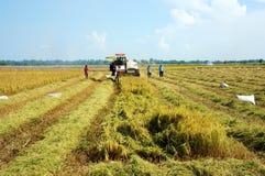 Raccolta del riso maturo sulla risaia Fotografia Stock