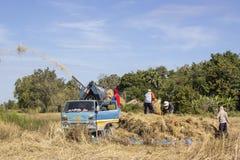 Raccolta del riso per il profitto Fotografia Stock