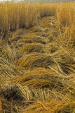Raccolta del riso per il profitto Fotografia Stock Libera da Diritti