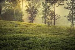 Raccolta del tè sul paesaggio di alba del terrazzo del tè degli alberi della nebbia del campo della piantagione di tè in Asia Sri immagini stock libere da diritti