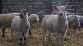 Raccolta del togeather degli agnelli da latte Fotografia Stock Libera da Diritti