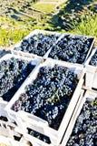 Raccolta del vino fotografia stock