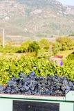 Raccolta del vino immagini stock