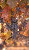 Raccolta del vino di autunno Fotografia Stock