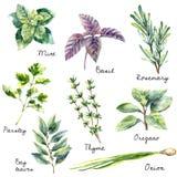 Raccolta dell'acquerello delle erbe fresche isolate Immagine Stock Libera da Diritti