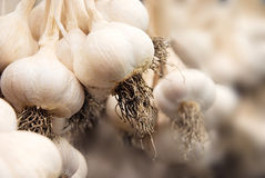 Raccolta dell'aglio fotografia stock libera da diritti